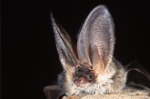 A rare grey long-eared bat, which detects insects at night using its large ears