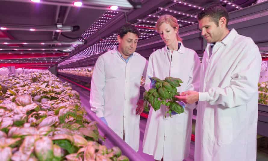 FarmedHere executives examine a crop of organic basil.