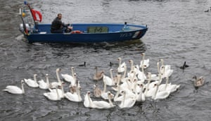 Boatman rounds up swans