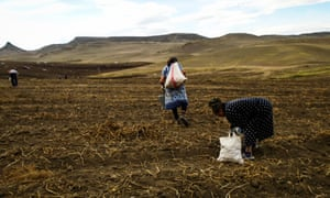 People harvesting in a field