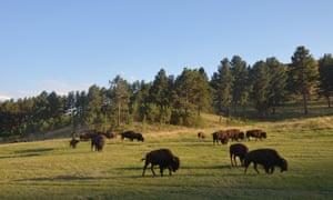 Buffalo wandering across the landscape in South Dakota.