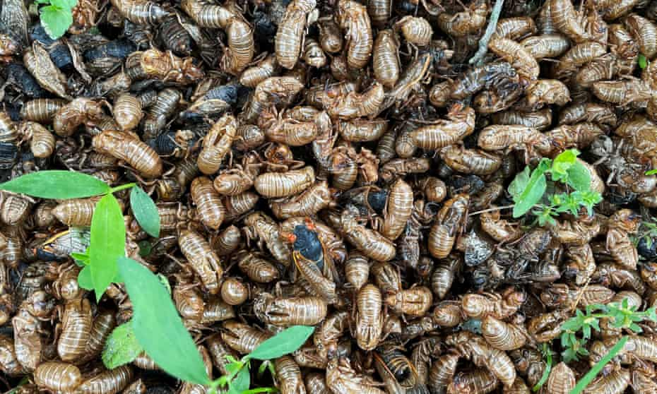 A Brood X cicada crawls through a pile of cicada pods at the base of a tree in Princeton, New Jersey.
