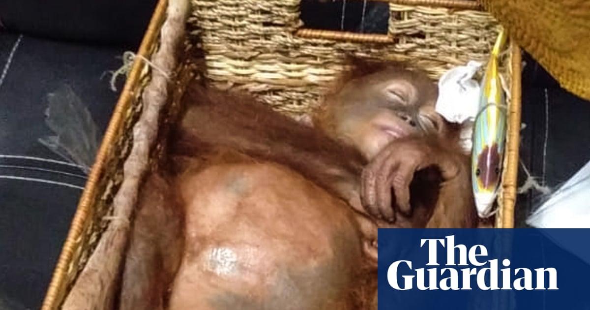 Drugged orangutan found in Russian's airline luggage | World
