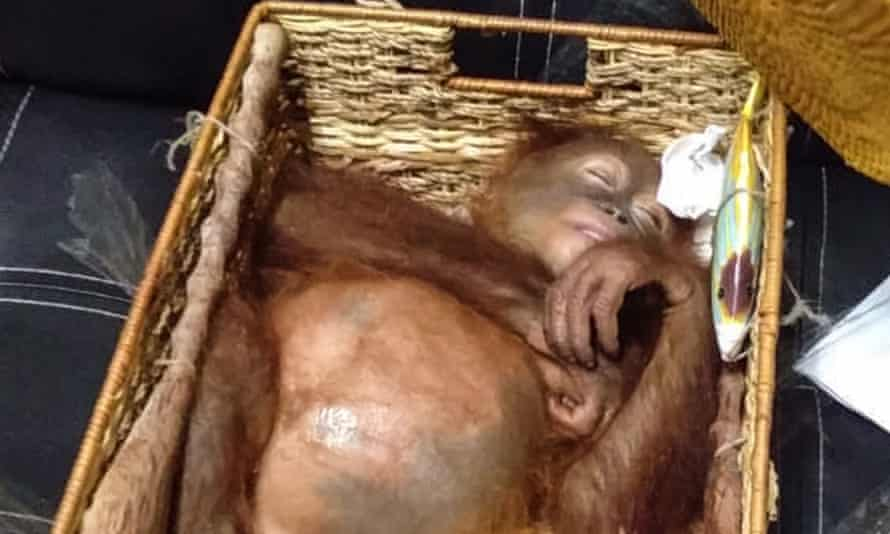 A rescued two-year-old orangutan resting inside a rattan basket, after a smuggling attempt by a Russian tourist at Bali's international airport in Denpasar.