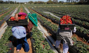 Farmers in the Moroccan town of Moulay Bousselham, Kénitra province, pick strawberries for export