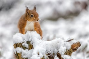 A red squirrel in the the snow on the Weardale Moors, Northumberland