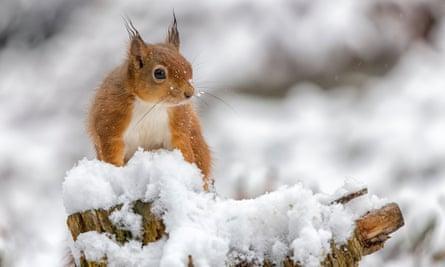 A healthy red squirrel