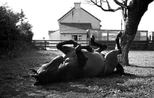 Red Rum having a roll in the grass at his stables in 1974.