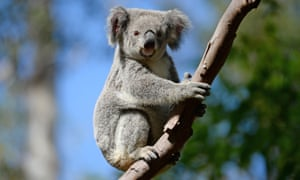 Environment groups say koala populations have diminished to such an extent the species should now be considered 'endangered'