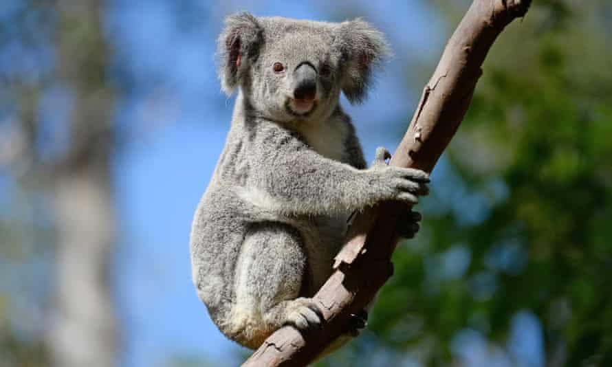 The clearing of agricultural land in Queensland is putting koalas under threat, say environmentalists.