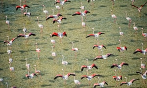 Flamingos in Abu Dhabi's Al Wathba wetland reserve, United Arab Emirates. Do flocking birds exchange 'information' with their neighbours?