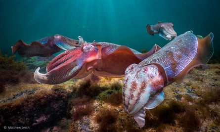 Cuttlefish like the ones that swim in Cabbage Tree Bay marine reserve. The fins that propel the cuttlefish flap in the water like a cape in the breeze.