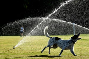 A dog cools off in a sprinkler during hot weather.