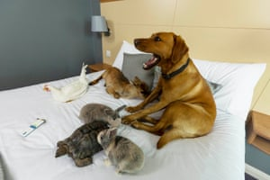 Animals sit on the bed at the pet-friendly Days Inn hotel at Roadchef Norton Canes, West Midlands, UK. Days Inn will be opening their doors to pets and owners across the nation at Roadchef motorway service areas, providing pets with fresh drinking water and outside space