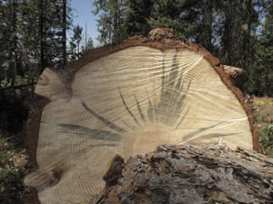 A tree stained blue by a fungus carried by the bark beetle, which diminishes the trees value as lumber, near Cressman, California