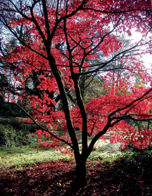 An Acer palmatum, Osakazuki, in the forest walk at Tullynally