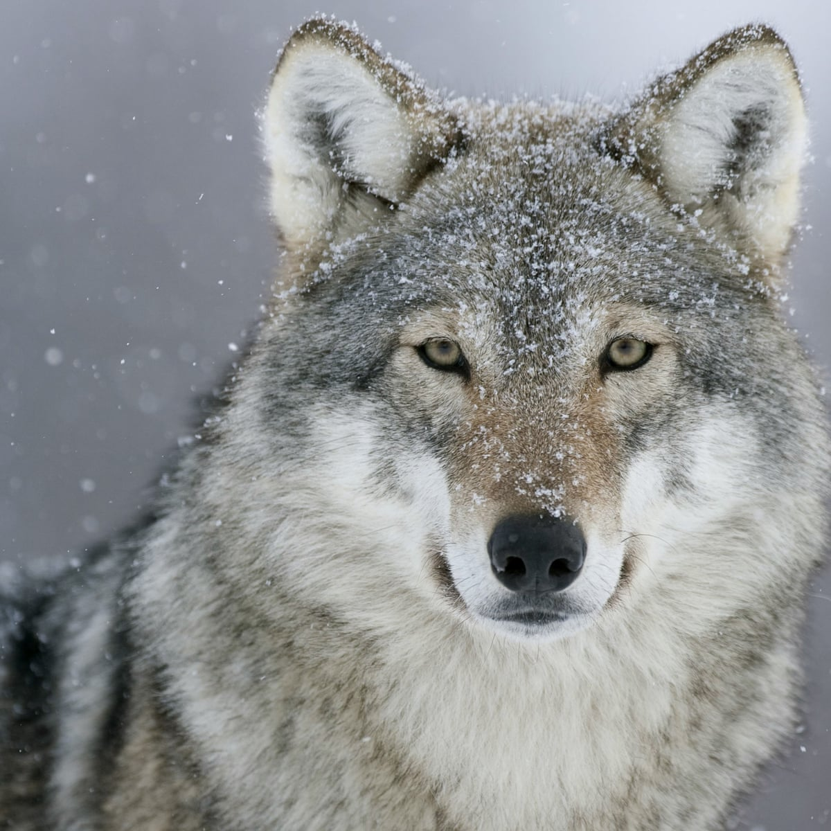 Gray wolves, once nearly extinct, could be coming back to Colorado | US  news | The Guardian