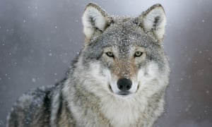 The gray wolf once numbered in the tens of thousands in the US, but was pushed to the brink of extinction.