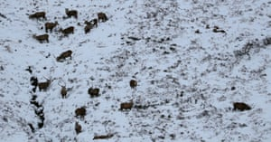 Red deer forage for food in the Cairngorms national park, Scotland