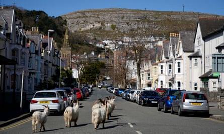 Mountain goats roam the streets of LLandudno, Wales, on 31 March 2020.