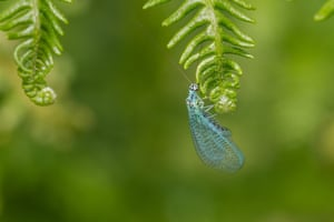 A green lacewing on ferns, Ilkley Moor, West Yorkshire