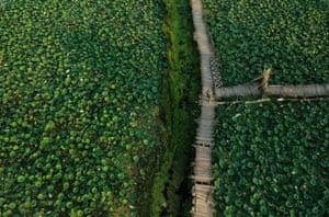 Srinagar city, Kashmir: A woman walks on a footbridge through a lotus pond at Dal Lake