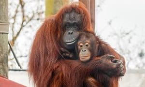 Hsiao Quai and Awan, Monkey World Ape Rescue Centre, Dorset