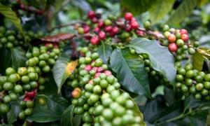 Indigenous berries.