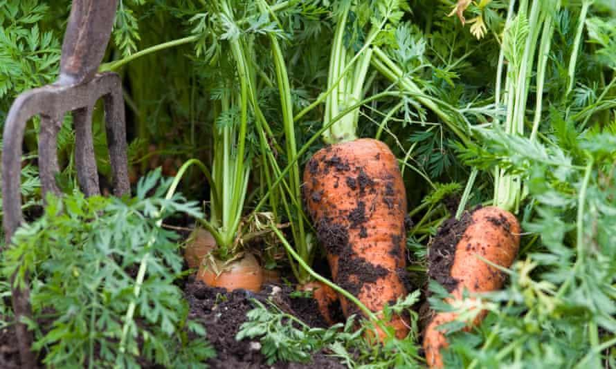 A fork digging up carrots