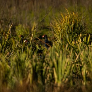 Nesting waterbirds spotted in the Little Llangothlin nature reserve