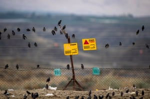 Starlings perch on the border fence between Israel and Jordan, near Jericho, in the Jordan valley