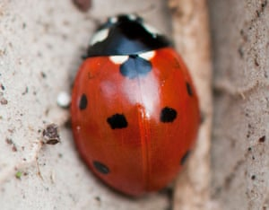 Two ladybirds in a dead tree leaf in early spring. UK