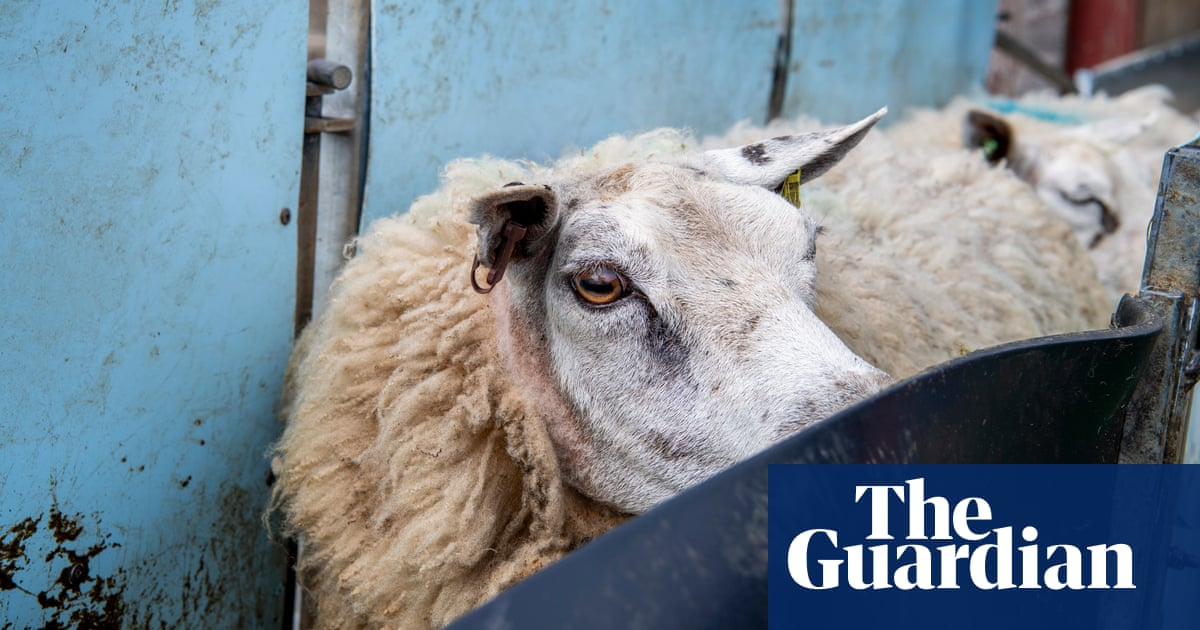 Wool from Waitrose lambs to be used for John Lewis mattresses