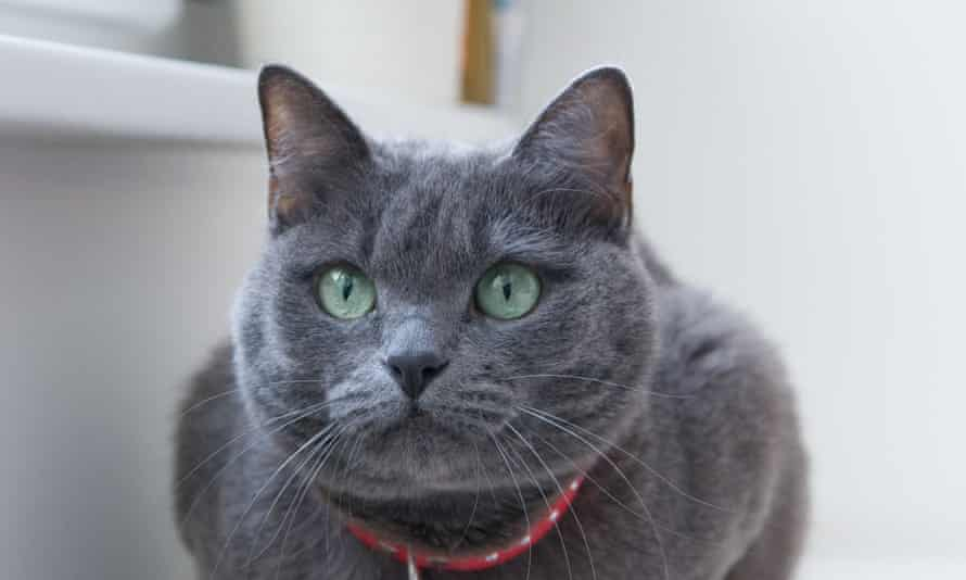 A Russian Blue cat was among the breeds euthanised after they were found in a smuggling operation off the coast of Taiwan.