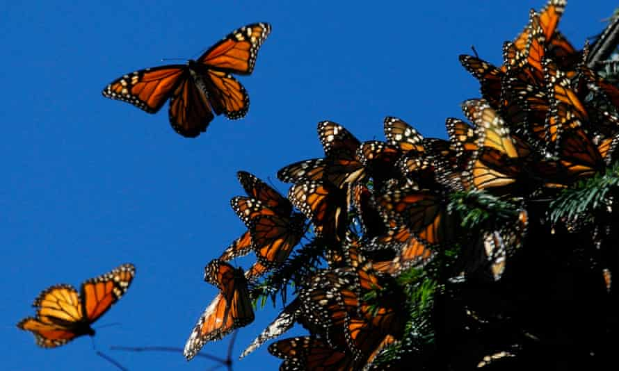 Monarch butterflies flying at the El Rosario butterfly sanctuary in Michoacan, Mexico.