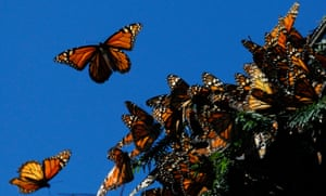 Scientists are not sure how monarch butterflies find their way back to same patch in Mexico each year.