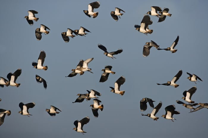 Image result for lapwing flock in a Norfolk sky in winter