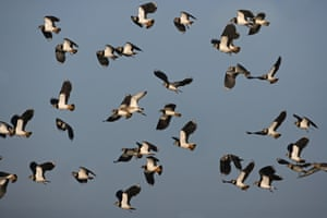 A winter flock of lapwings.
