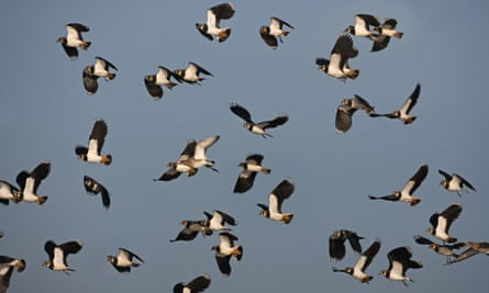 Lapwings.