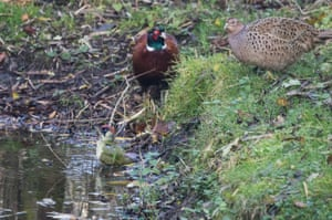 A green woodpecker bathes in a woodland pond watched by pheasants