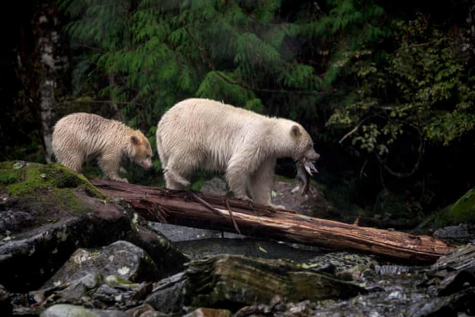 Spirit bears are white-coated black bears that inherit their pale fur from a rare recessive gene.