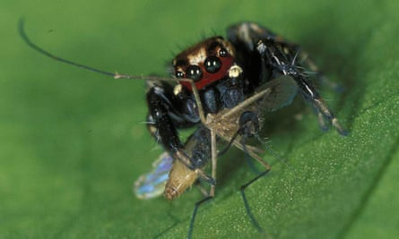 A jumping spider in east Africa, Evarcha culicivora, devouring a mosquito.