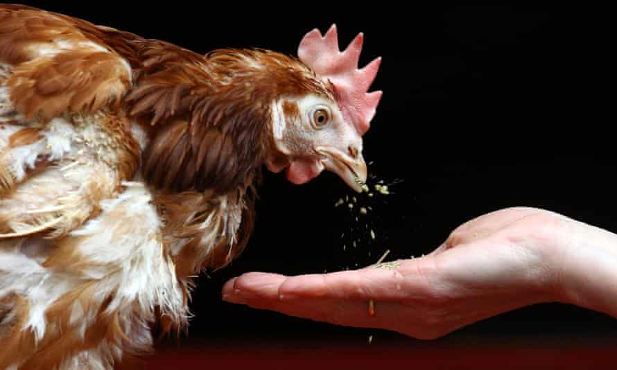 Britain's last battery hen is released in 2011 in Chulmleigh, England.