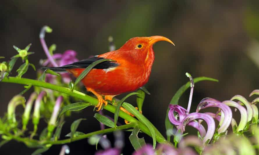 The Hawaiian honeycreeper. Roughly two-thirds of endemic Hawaiian birds have been wiped out since humans arrived in the islands roughly 1,500 years ago.