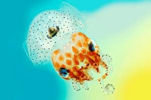 Mark R Smith's Hawaiian bobtail squid photograph