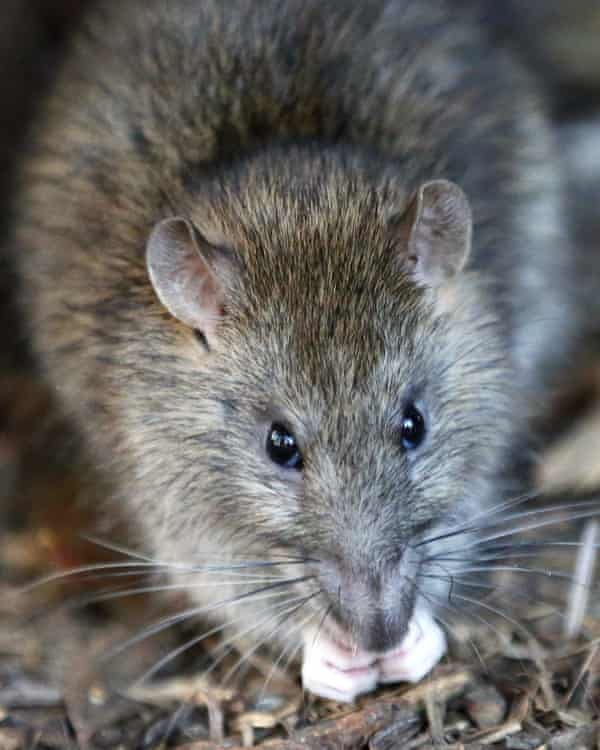 Rats and other pests carried by ships often wiped out local species.