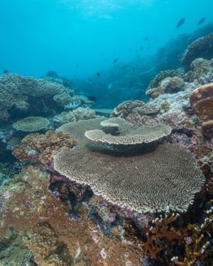 Some parts of the Namena Reserve were spared from past cyclones' storm surges and are home to large and intact table corals
