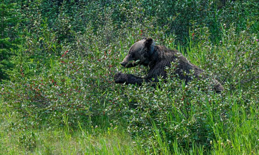 Grizzly bears in Alberta, Canda were found to spend time looking for shaded vegetation in hotter temperatures, which could impact on hunting time