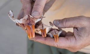 Gerstenberg displays some nutria teeth.