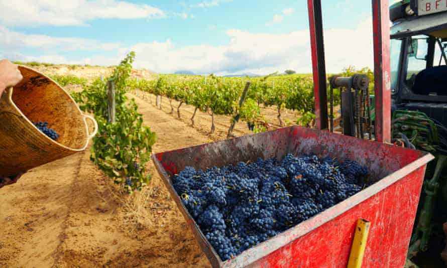 Harvesting of tempranillo grapes in Lanciego, in the Basque country province of Álava.
